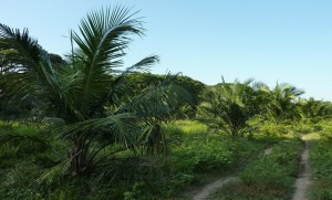 Nous marchons tantôt à travers les plantations de palmes, tantôt à travers les cultures des campesinos