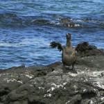 Il continue à faire sécher ses ailes au soleil comme ses cousins volants