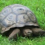 Il faut 4 générations de scientifiques pour suivre la vie d'une tortue!!